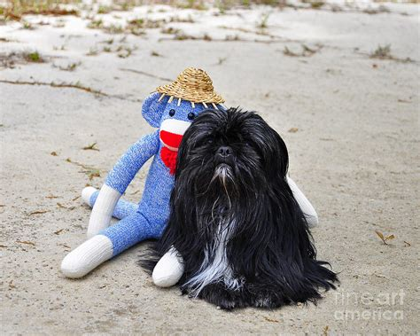 shih tzu photography funky monkey and sweet shih tzu photograph by al powell photography usa