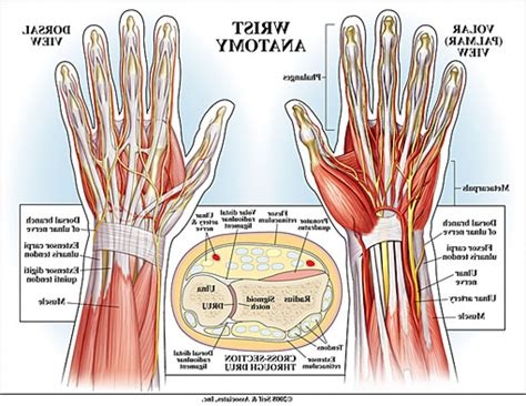 human tendons diagram wrist tendons diagram anatomy organ