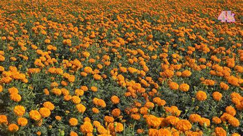 Marigold Flower Garden Marigold Flower Garden গ দ ফ ল ব গ ন At Jeassore Bangladesh In 4k
