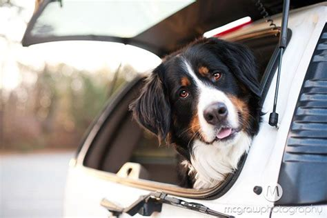 bernese mountain puppies nc 36 best images about bernese mountain on best dogs minnesota and