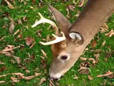 small 6 point buck 6 point buck