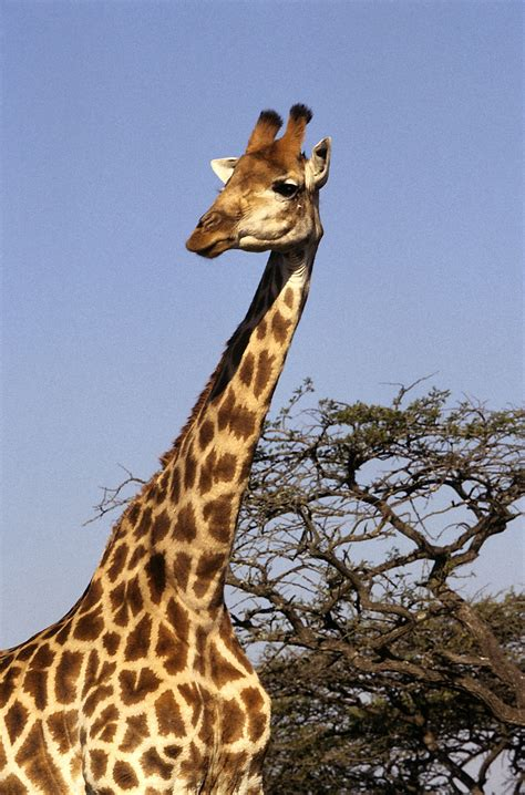 Find Similar Looking How Does Giraffe Look Like What Does It Look Like Find Out Here