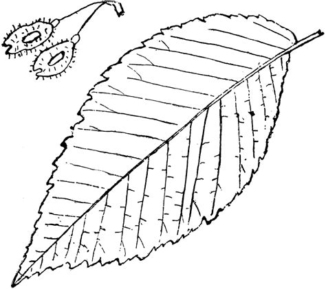 elm leaf coloring page elm tree coloring pages