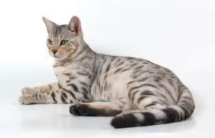 Explore Gato Bengal Jpg, Bengal Cats, and more! Gato