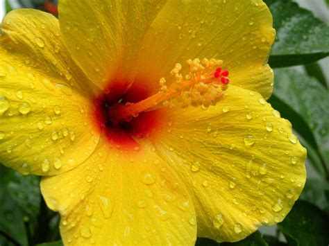 yellow hibiscus state flower of hawaii http wp me p1gkzp yellow hibiscus hawaii state flower jamesyn discovers