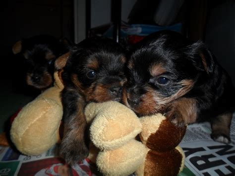 silver yorkie puppies beautiful gold black yorkie pup weymouth dorset pets4homes
