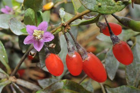 fiori di goji goji la pianta della giovinezza inherba il mondo