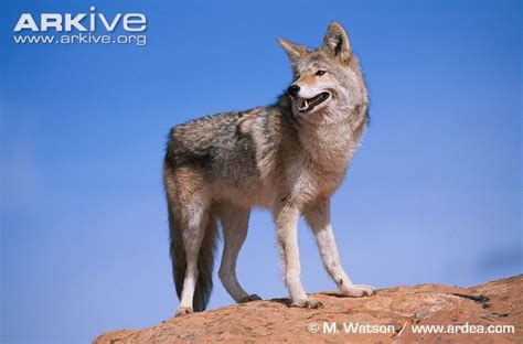 Coyote Videos Photos And Facts Canis Latrans Arkive   coyote videos photos and facts canis latrans arkive
