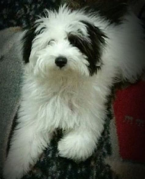 can you bathe a puppy at 8 weeks teddy 8 week puppy breeds picture