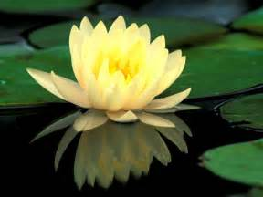 Lotus Flower On Water Water Or Lotus Flowers Photo 22283520 Fanpop