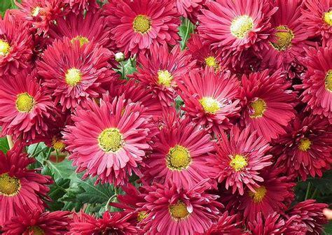 el crisantemo y la crisantemos rosas im 225 genes y fotos
