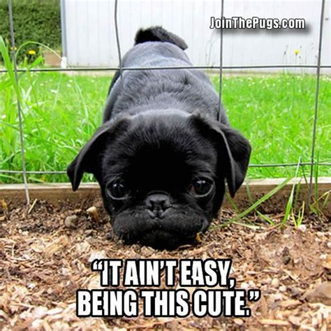 why should i get a pug best 25 pugs ideas on pugs pug puppies and pug puppies