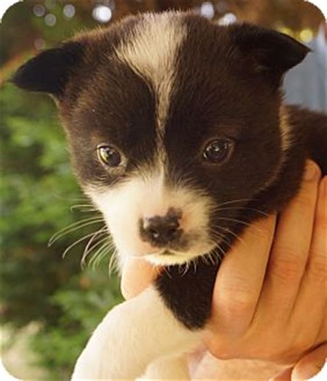 boston terrier and pomeranian mix puppies newark de boston terrier pomeranian mix meet sammy a puppy for adoption