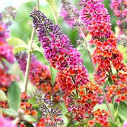 multi colored butterfly bush butterfly bush rainbow buddleia multi color flowering