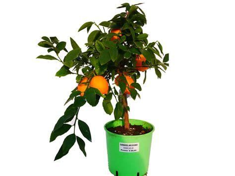 pianta di limoni in vaso pianta di limone meyer in vaso 20 22 cm savini vivai di