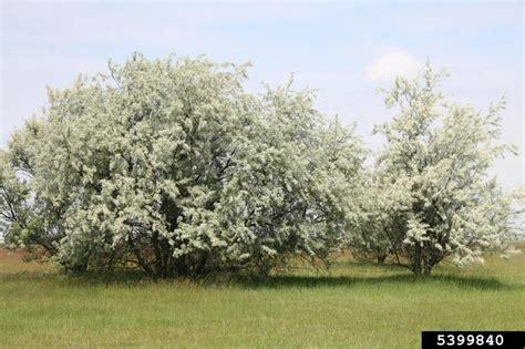 russian olive elaeagnus angustifolia rhamnales elaeagnaceae 5399840