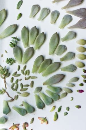 Propagating Succulents Needles Leaves - propagating succulents via needles leaves how to
