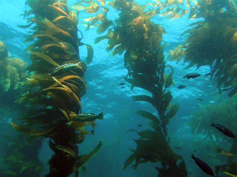 the in the kelp kelp forest midwater frond thinglink