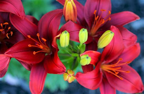 lilies or lillies lily wallpapers wallpapersin4k net