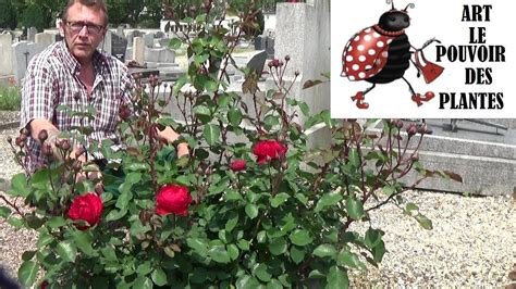 Comment Tailler Rosier Buisson by Jardinage Rosier Buisson Remontant Comment Tailler