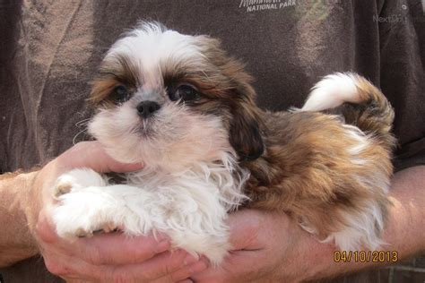 shih tzu breeders in tennessee shih tzu puppy for sale near nashville tennessee 71ab1c3f 51c1