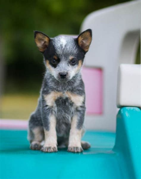 and blue heeler puppies playful blue heeler puppies craigspets