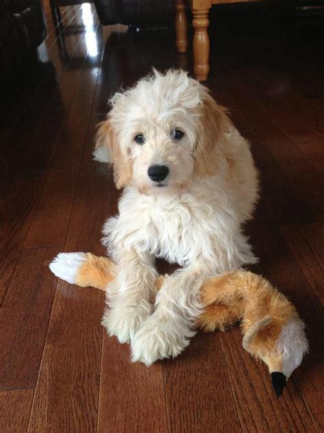 mini doodle alberta ミニ ゴールデンドゥードル のおすすめアイデア 25 件以上 可愛い犬 かわいい小型犬