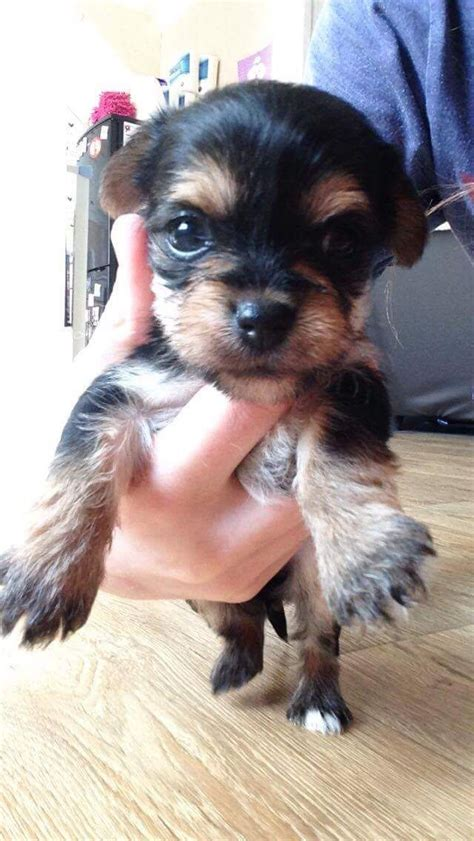 cross yorkie puppies tiny yorkie cross chihuahua puppies harrogate pets4homes