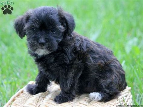 black morkie puppies fans morkie puppies and puppys on
