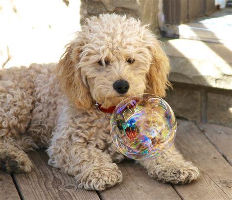 mini doodle cavapoo gratis afbeeldingen gewerveld hondenras cavapoo