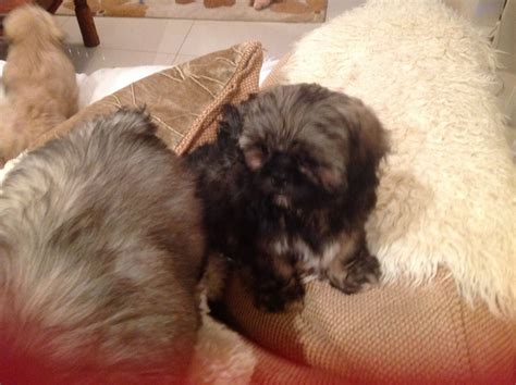 shih tzu for sale in kent shih tzu puppies for sale ashford kent pets4homes