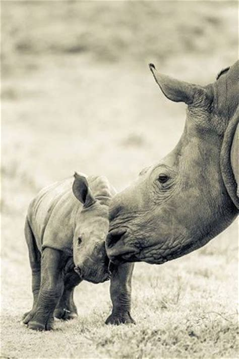 libro amazing animal babies 763 best images about animals rhino rhinoceros neushoorn on horns african rhino