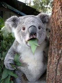 les meilleures photos et vid 233 os de b 233 b 233 koala