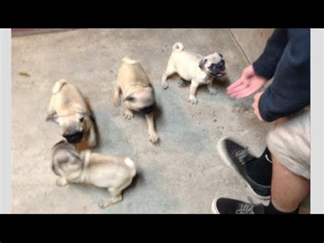 bosley pug pug meets new kitten for the time faze rug funnycat tv