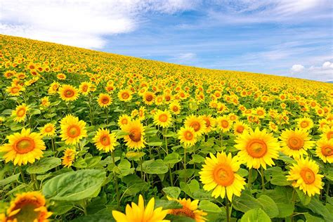 picture   day  sea  sunflowers  japan