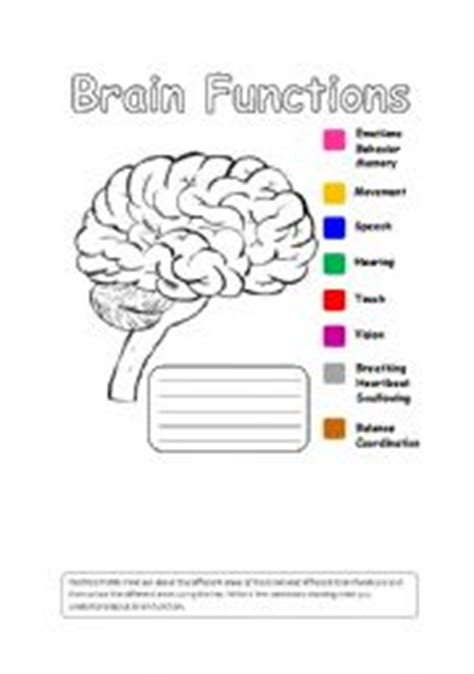 Parts Of The Brain Worksheet by Parts Of The Brain And Their Functions Worksheet Www