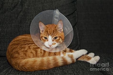 cone after surgery cat resting after surgery with veterinairy cone photograph by mcaulay