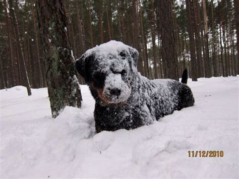 rottweiler in snow rottweiler loving the snow rottweiler our favorite breed