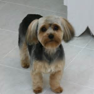 yorkie poo haircuts pictures yorkie poo pictures haircuts dog breeds picture