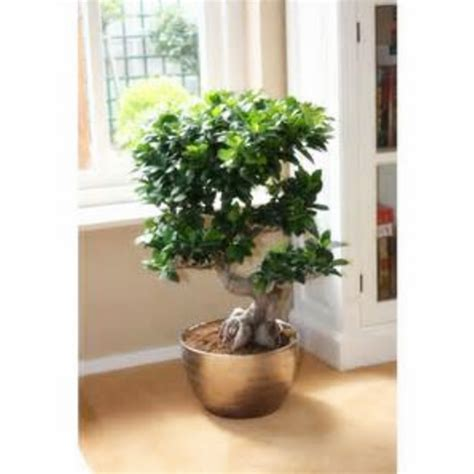 Bonsai Tree Planters by Aliexpress Buy Ficus Microcarpa Tree