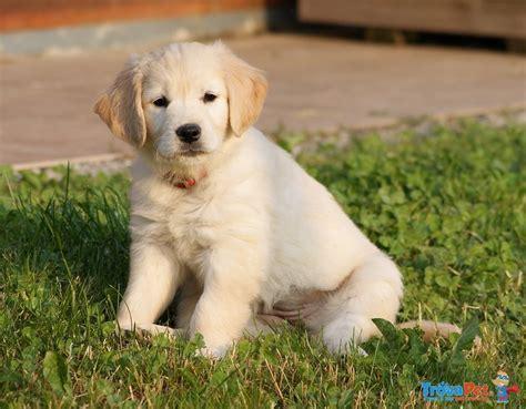 alimentazione cucciolo golden retriever golden retriever foto 4 breeds picture