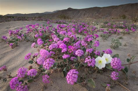 wildflowers anza borrego trips archives fine art landscape and nature photography
