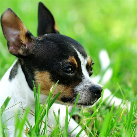 How To Stop Chihuahua From Shedding by Alaskan Klee Puppies Breed Profile Info Small