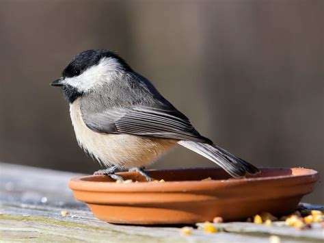 small backyard birds central texas backyard birds travis audubon