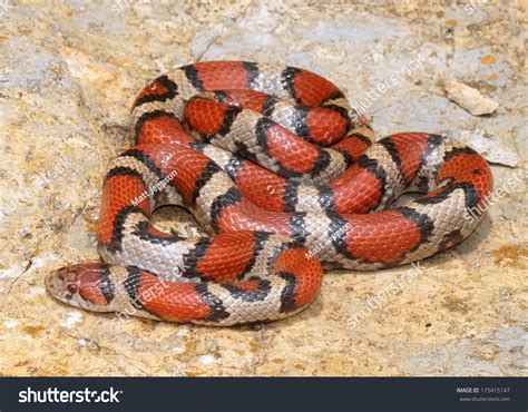 coral snake colors bright coral snake colors lropeltis triangulum