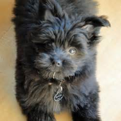 beagle pomeranian mix puppies breeds picture