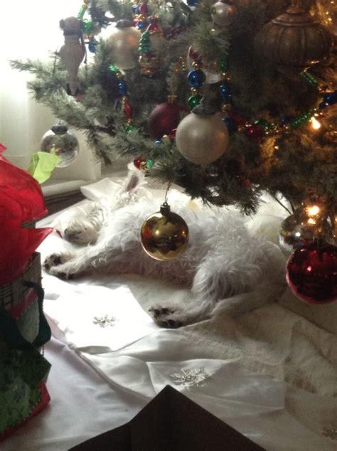 westie under the christmas tree tenacious terriers