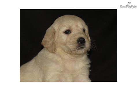 doodle puppies for sale in alabama goldendoodle puppies for sale in alabama goldendoodle