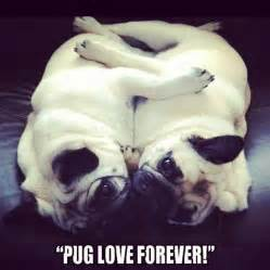 and pug foundation 17 best images about i pugs pigs on pug piglets and puppys