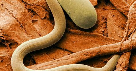 Cacing Pengertian pengertian ciri dan klasifikasi nemathelminthes